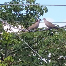 Doves presently in my trees